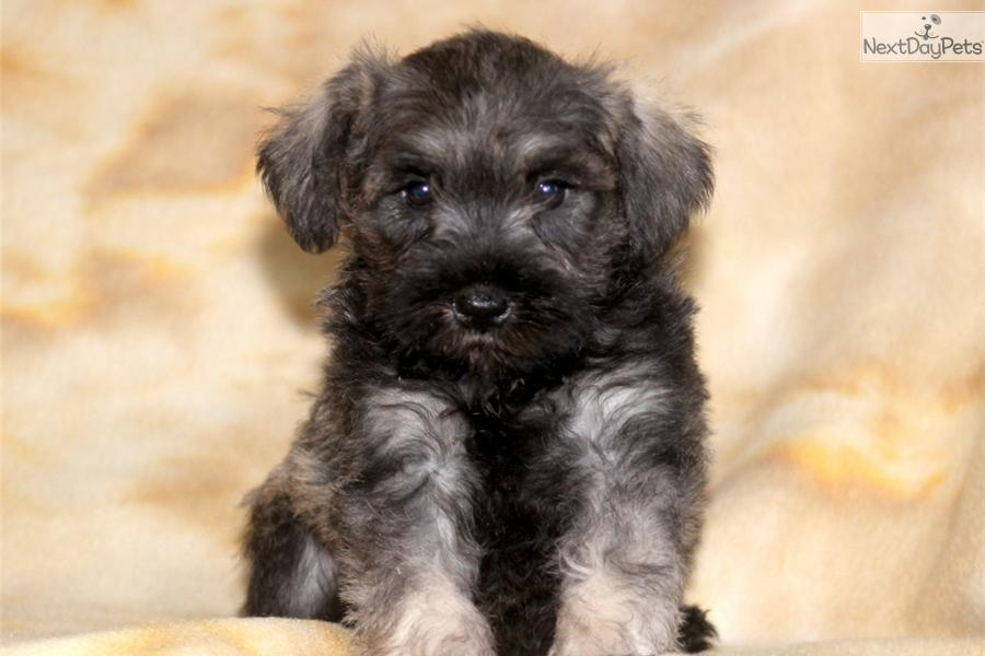 Aster - Mini Schnauzer Male