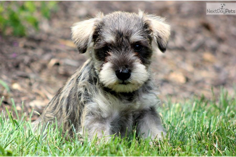 schnoodle puppy for sale near lancaster pennsylvania
