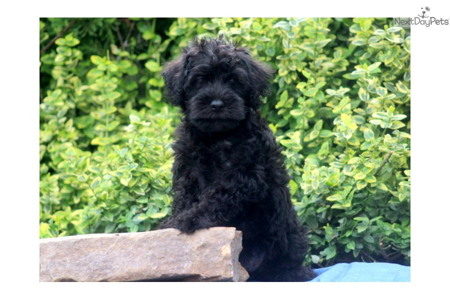 Meet DJ a cute Schnoodle puppy for sale for $300. DJ - Schnoodle Male