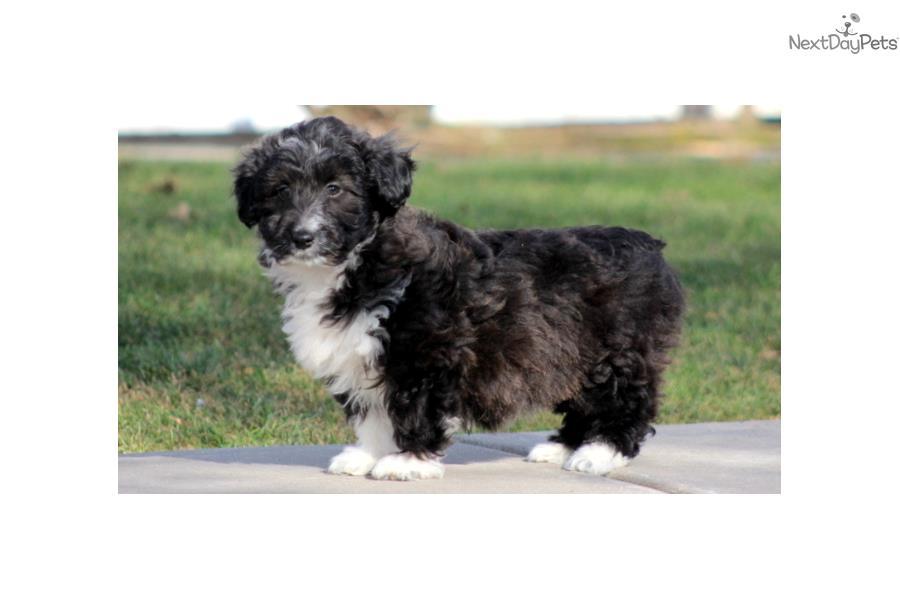 Libby - Mini Sheltidoodle Female | Shetland Sheepdog - Sheltie puppy ...