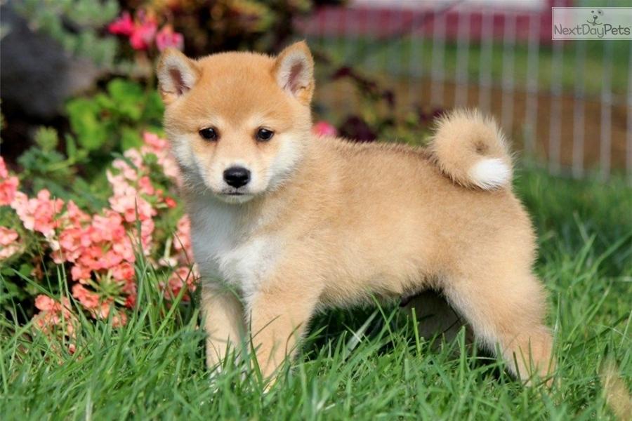 Glenny: Shiba Inu puppy for sale near Lancaster ...