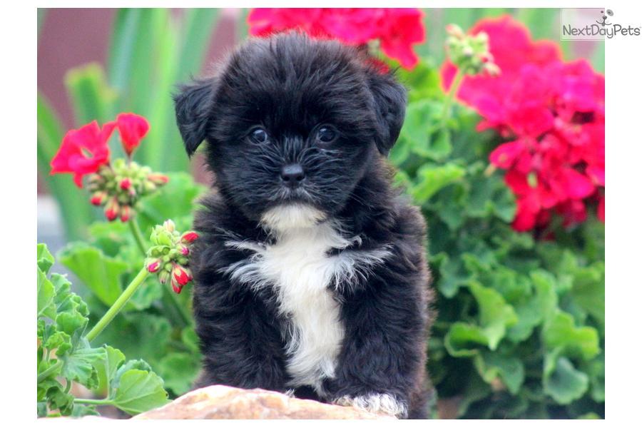 ... Orella a cute Shorkie puppy for sale for $550. Orella - Shorkie Female