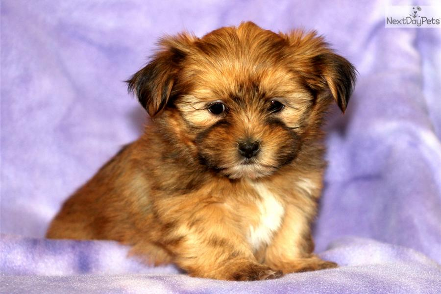 ... Sassy a cute Shorkie puppy for sale for $600. Sassy - Shorkie Female