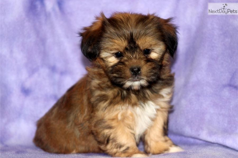 Shorkie Puppies For Sale In Houston Tx Foreclosed Homes For Sale In
