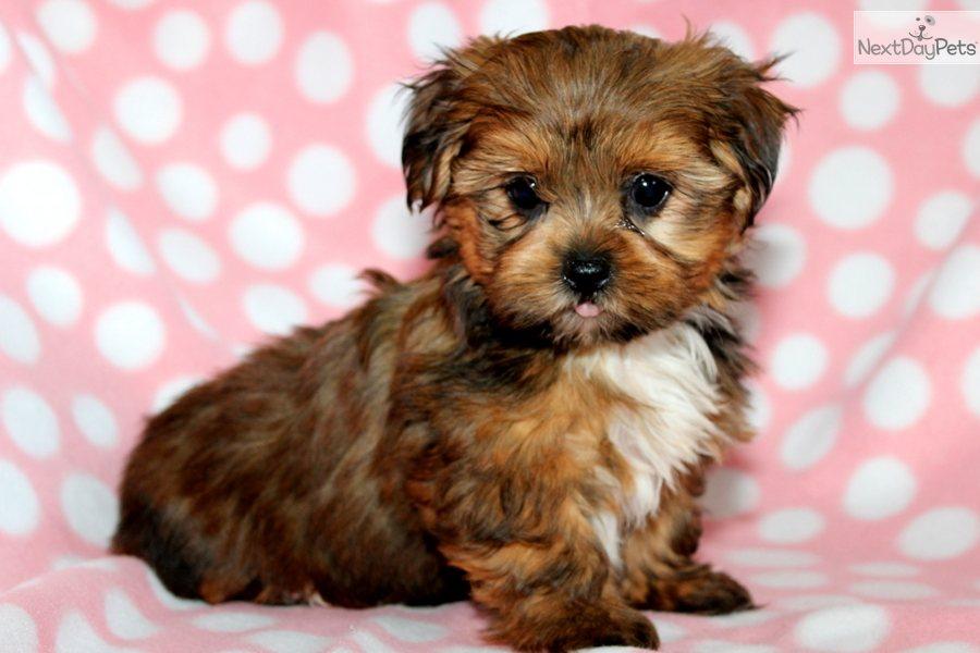 Karen's Yorkies - Yorkie Puppies for sale, Yorkies for