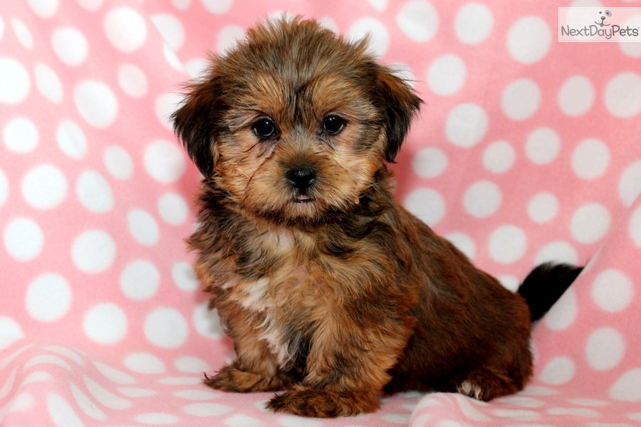 ... Libby a cute Shorkie puppy for sale for $650. Libby - Shorkie Female