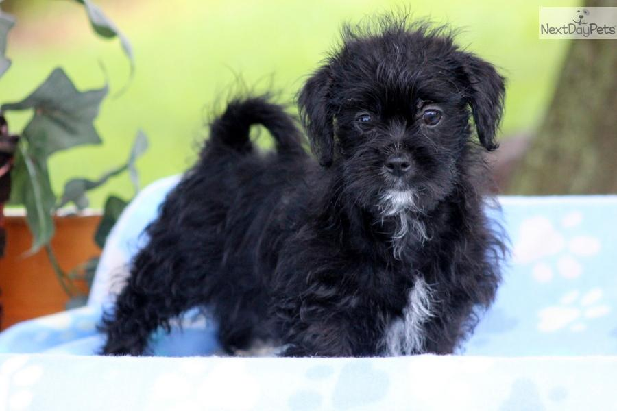 ... Annie a cute Shorkie puppy for sale for $500. Annie - Shorkie Female