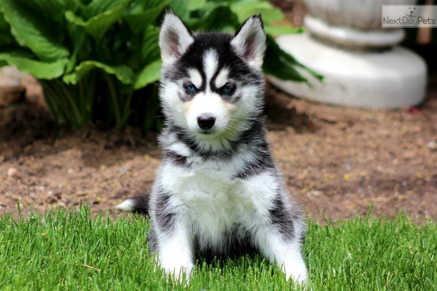 Siberian Husky Essay Research Paper Siberian Huskies