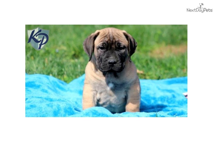 South African Boerboel Puppies For Sale - Yellow, Brown ...
