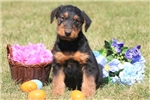 Picture of Ginko - Airedale Terrier Male