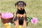 Picture of Glow - Airedale Terrier Female