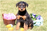 Picture of Galaxy - Airedale Terrier Male