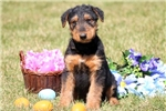 Picture of Gino - Airedale Terrier Male