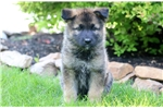 Picture of Buffy - Akita Mix Female