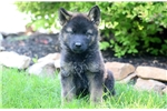 Picture of Bruce - Akita Mix Male