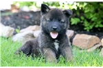 Picture of Baby Doll - Akita Mix Female