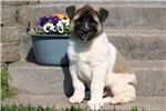 Picture of Robby - Akita Male