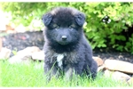 Picture of Brittany - Akita Mix Female