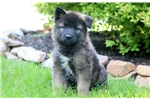 Buzz - Akita Mix Male | Puppy at 10 weeks of age for sale