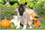 Picture of Tiny - Akita Female