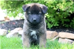Blaze - Akita Mix Male | Puppy at 10 weeks of age for sale