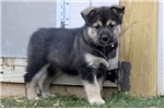 Picture of Fay - Alaskan Heeler Female
