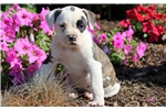 Picture of Cinderella - American Bulldog Female
