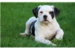 Picture of Candy - American Bulldog Female