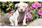 Picture of Cassie - American Bulldog Female