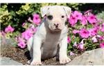 Picture of Cujo - American Bulldog Male