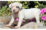 Picture of Charity - American Bulldog Female