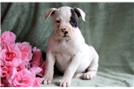 Layla - American Bulldog Female | Puppy at 15 weeks of age for sale