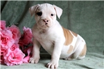 Picture of Lilly - American Bulldog Female