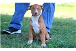 Picture of Tesla - Pit Bull Female