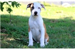 Picture of Taz - Pit Bull Male