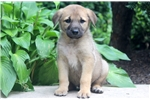 Picture of Congo - Anatolian Shepherd Male