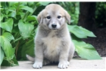 Picture of Cara - Anatolian Shepherd Female