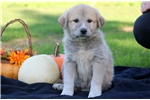 Picture of Spike - Anatolian Shep/Great Pyrenees Mix Male