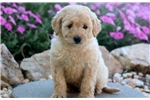 Picture of Sabastian - Anatolian Shep/Great Pyrenees Mix Male
