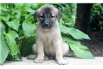 Picture of Caine - Anatolian Shepherd Male