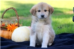 Picture of Stanley - Anatolian Shep/Great Pyrenees Mix Male