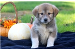 Picture of Sparkle -Anatolian Shep/Great Pyrenees Mix Female