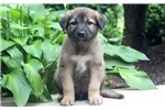 Picture of Cosmo - Anatolian Shepherd Male