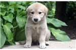 Picture of Cheddar - Anatolian Shepherd Male