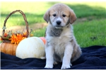 Picture of Special - Anatolian Shep/Great Pyrenees Mix Female