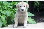 Picture of Chase - Anatolian Shepherd Male