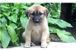 Picture of Carter - Anatolian Shepherd Male