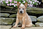 Picture of Monroe - Aust Cattle Dog Male