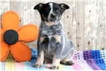 Picture of Thunder - Blue Heeler Male
