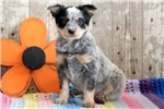 Picture of Tisha - Blue Heeler Female